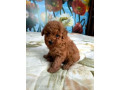 toy-poodle-girl-small-0