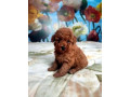 toy-poodle-girl-small-1